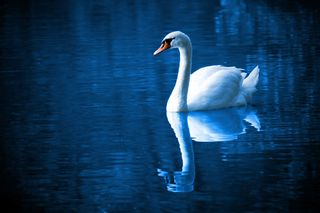 Http-_www.publicdomainpictures.net_view-image.php?image=7277&picture=swan-on-lake -87-1276695547wStv