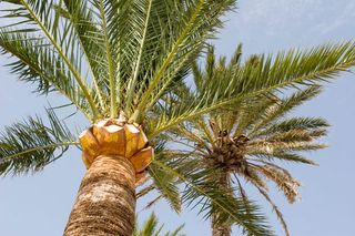Http-_www.publicdomainpictures.net_view-image.php?image=9269&picture=palm-tree   palm-tree-38841285032172tXID